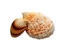 Twee overzeese shells Royalty-vrije Stock Afbeeldingen
