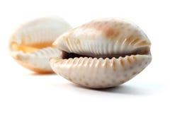 Twee overzeese shells Royalty-vrije Stock Fotografie