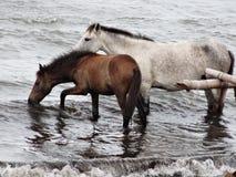 Twee paard het spelen bij de kust op het strand van Nicaragua Royalty-vrije Stock Afbeeldingen