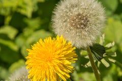 Twee paardebloemenclose-up die en met zaden bloeien stock foto's