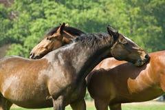 Twee paarden Stock Fotografie