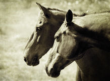 Twee paarden royalty-vrije stock afbeelding