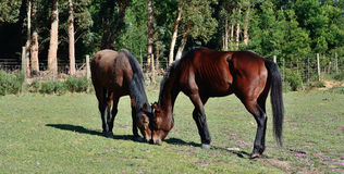 twee paarden Stock Foto