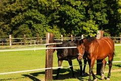 twee paarden Stock Afbeelding