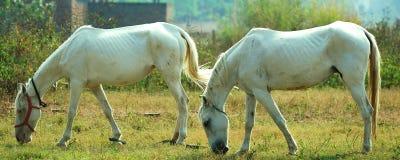 Twee paarden Stock Foto's
