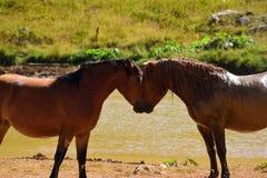 Twee paarden bij een vijver, liefde is de lucht Stock Afbeelding