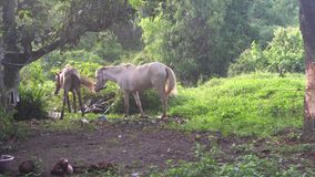 Twee paarden bij gebied in Thailand stock videobeelden