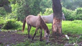 Twee paarden bij gebied in Thailand stock footage