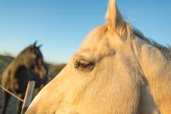 Twee paarden bij zonsondergang Stock Afbeelding