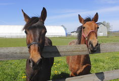 Twee Paarden in Corral royalty-vrije stock foto's