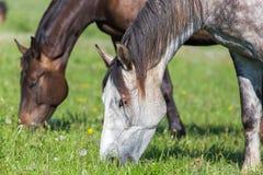 Twee paarden in de zomerweiland Stock Afbeelding