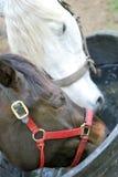 Twee paarden delen een drank Stock Foto