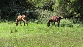 Twee paarden die in een weide weiden stock videobeelden