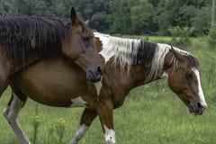 Twee paarden die in een weiland lopen Stock Fotografie