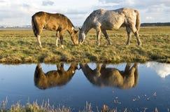 Twee paarden die in een weiland naast een stroom weiden Stock Foto