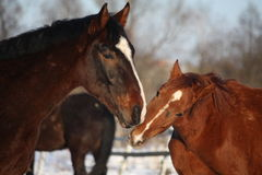 Twee paarden die elkaar nuzzling Royalty-vrije Stock Foto's