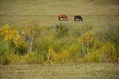 Twee paarden die gras in de herfstprairie eten Stock Foto's