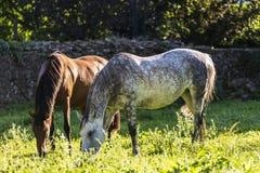 Twee paarden die gras in een weide eten Stock Foto's