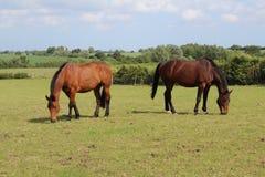 Twee paarden die gras eten stock foto's