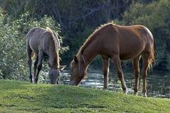 Twee paarden die gras eten. Stock Foto's