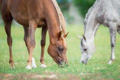 Twee paarden die gras eten Royalty-vrije Stock Fotografie