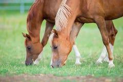 Twee paarden die gras eten Stock Afbeeldingen