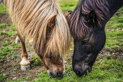 Twee paarden die gras op een weide in IJsland eten Royalty-vrije Stock Foto's