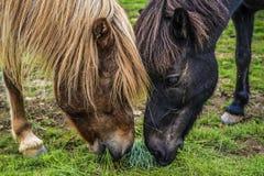 Twee paarden die gras op een weide in IJsland eten Royalty-vrije Stock Fotografie