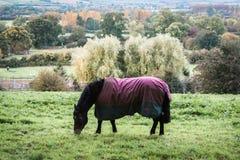Twee paarden die gras op gebied, Engeland eten Royalty-vrije Stock Afbeelding