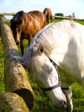 Twee Paarden die met een krasjeuk ontspannen Royalty-vrije Stock Foto's