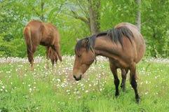 Twee paarden die op een groen gebied 001 weiden royalty-vrije stock afbeeldingen