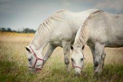 Twee paarden die op gebied weiden Royalty-vrije Stock Foto's