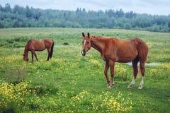 Twee paarden die op gebied weiden Stock Foto's