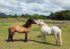 Twee Paarden die op Groen Grasgebied kussen Stock Foto's