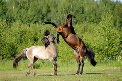 Twee paarden die op het gebied spelen Stock Foto's