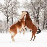 Twee paarden die in sneeuw spelen Royalty-vrije Stock Afbeeldingen