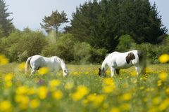 Twee paarden die vreedzaam onder de zon weiden stock fotografie