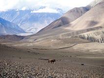 Twee paarden die zich op terrein en de sneeuwberg bij afstand bevinden Stock Afbeeldingen