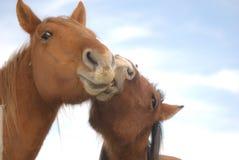 Twee paarden in een vriendschapsogenblik Royalty-vrije Stock Foto's