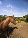 Paard twee Royalty-vrije Stock Afbeeldingen