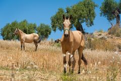 Twee paarden in een weide in olijfboomboomgaard Andalucia, Andalusia spanje europa stock fotografie