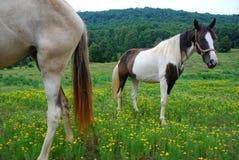 Twee paarden in een weide van Tennessee Stock Afbeeldingen