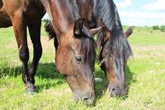Twee paarden eten gras Stock Fotografie