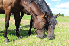 Twee paarden eten gras Royalty-vrije Stock Fotografie