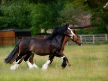Twee paarden het draven Stock Afbeelding