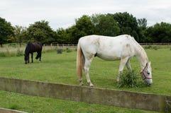 Twee paarden in het landbouwbedrijf van Londen - Engeland stock afbeelding