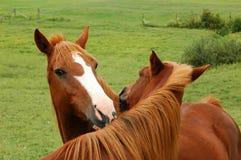 Twee paarden het strelen Stock Afbeeldingen