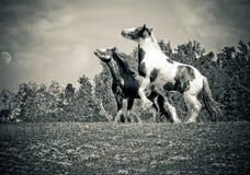 Twee paarden het vechten Stock Fotografie