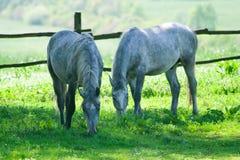 Twee paarden het voeden Royalty-vrije Stock Afbeelding