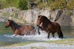 Twee paarden in het water Stock Afbeelding